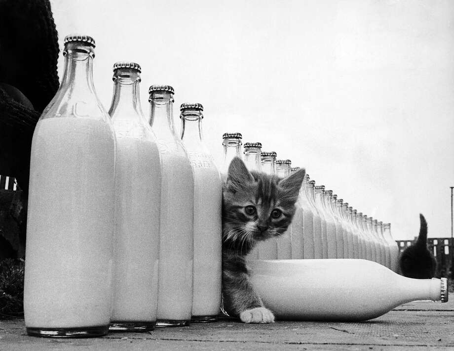 A kitten is surrounded by milk bottles bigger than he is, 1964. Photo: Keystone, Getty Images / Hulton Archive