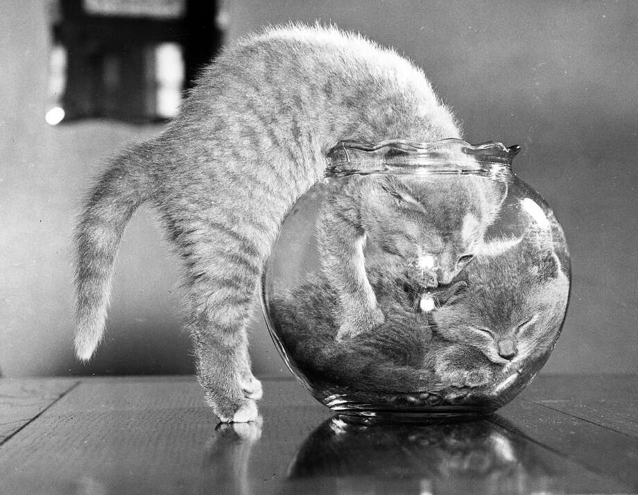 A British Blue kitten trying to join his sister in an already full goldfish bowl, 1957. Photo: Fox Photos, Getty Images / Hulton Archive