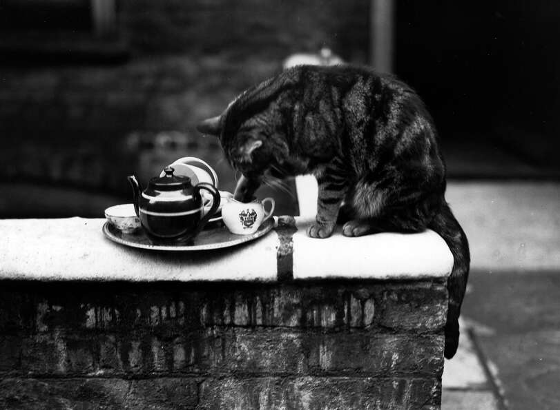 Paddy the cat with his paw in the milk jug from the tea tray, 1932.