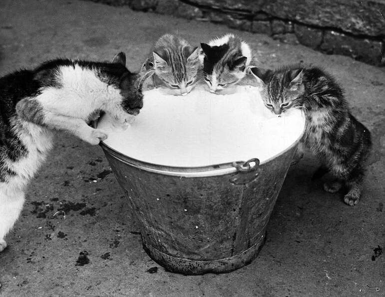 Mother and her three kittens could not resist the pail of milk, recently collected from the cow, and