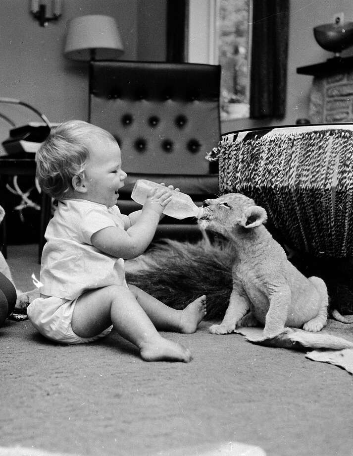 Dinner time is tough for little one year old David Cawley who has to contend with wild animals in order to get his food in 1967. His father Mr Cawley is a  manager of a Lion Reserve and is temporarily raising this orphaned lion cub. Photo: Ian Tyas, Getty Images / Hulton Archive