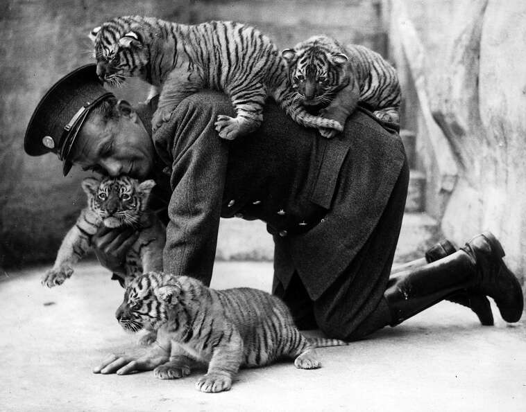 Eight week old tiger cubs belonging to Ranee, a tiger at  Whipsnade Zoo in 1937.