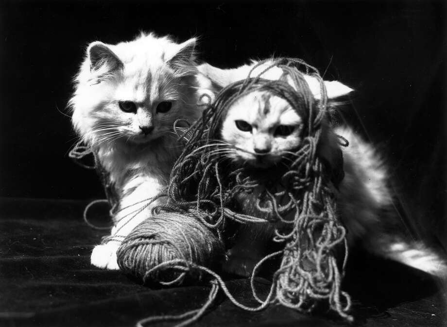 Persian kittens playing with a ball of wool in 1934. Photo: Fox Photos, Getty Images / Hulton Archive