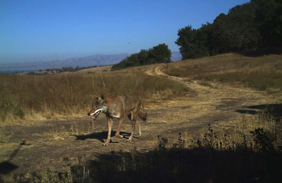Coyote (Canis latrans) in a photo belonging to Jasper Ridge Biological Preserve of Stanford University. Photo: Jasper Ridge Biological Preserve, Stanford University