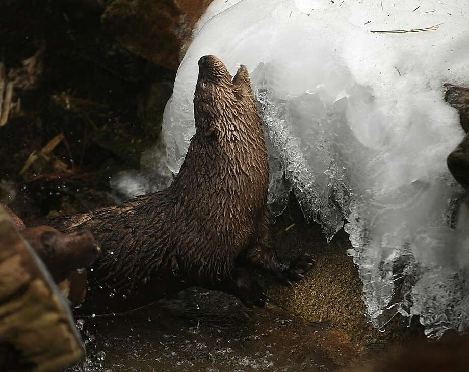 Freezer pup:An otter seems to relish the cold as it rubs against a mound of ice at the Beardsley Zoo in Bridgeport, Conn. Photo: Brian A. Pounds, Connecticut Post
