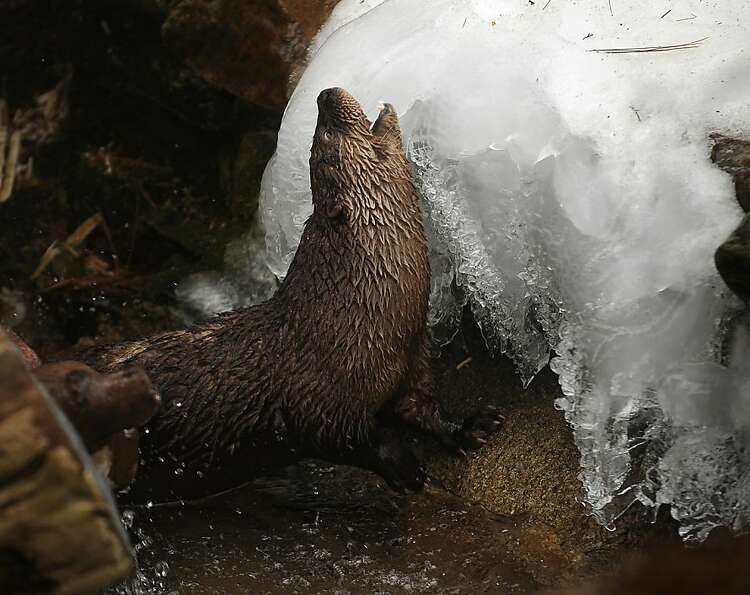 Freezer pup: An otter seems to relish the cold as it rubs against a mound of ice at the Beard