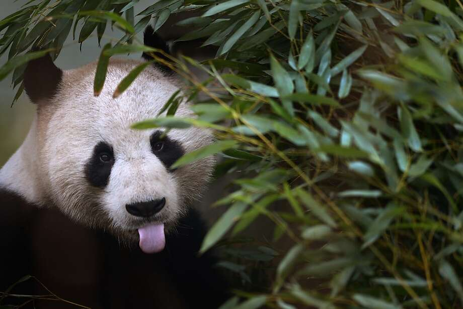 "The panda equivalent of 'hubba, hubba': Experts at Edinburgh Zoo say they expect the giant panda breeding season to begin earlier this year, as both Tian Tian, a.k.a. ""Sweetie,"" and Yang Guang, a.k.a. ""Sunshine"" (above), are exhibiting changes in their behavior indicating they will soon be ready to mate. Photo: Jeff J Mitchell, Getty Images"