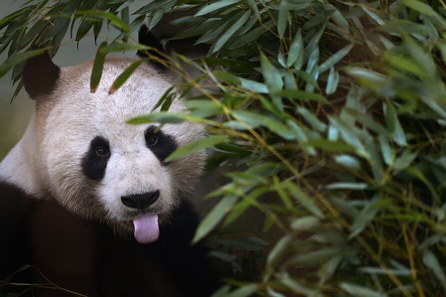 The panda equivalent of 'hubba, hubba': Experts at Edinburgh Zoo say they expect the giant pa
