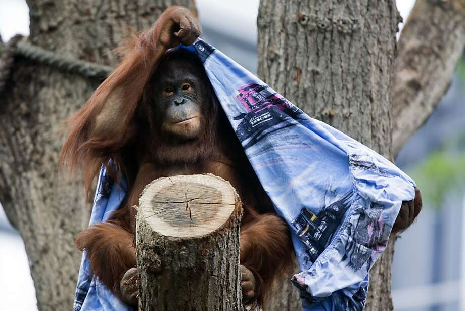It's curtains for the orangutan:Fortunately we're not talking metaphorically about loss of habitat, but rather about an actual drapery. (Darwineum Zoo in Rostock, Germany.) Photo: Jens Buettner, AFP/Getty Images