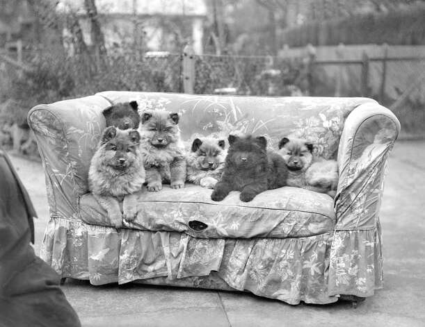 Chow puppies in a line in London, 1929. Photo: Planet News Archive, Getty Images / SSPL/Planet News Archive