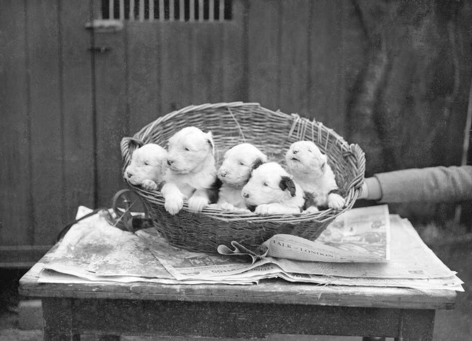 Five puppies, out of a litter of twelve, 1929. Photo: Planet News Archive, Getty Images / SSPL/Planet News Archive