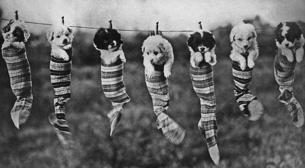 Seven puppies in socks hanging on a washing line, 1929. Photo: Archive Photos, Getty Images / 2011 Getty Images