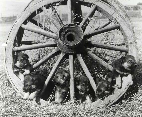 Puppies on a wheel, 1900. Photo: Keystone-France, Getty Images / 1900 Keystone-France