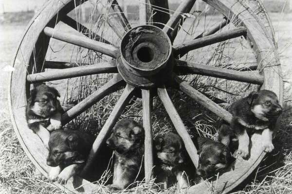 Puppies on a wheel, 1900.