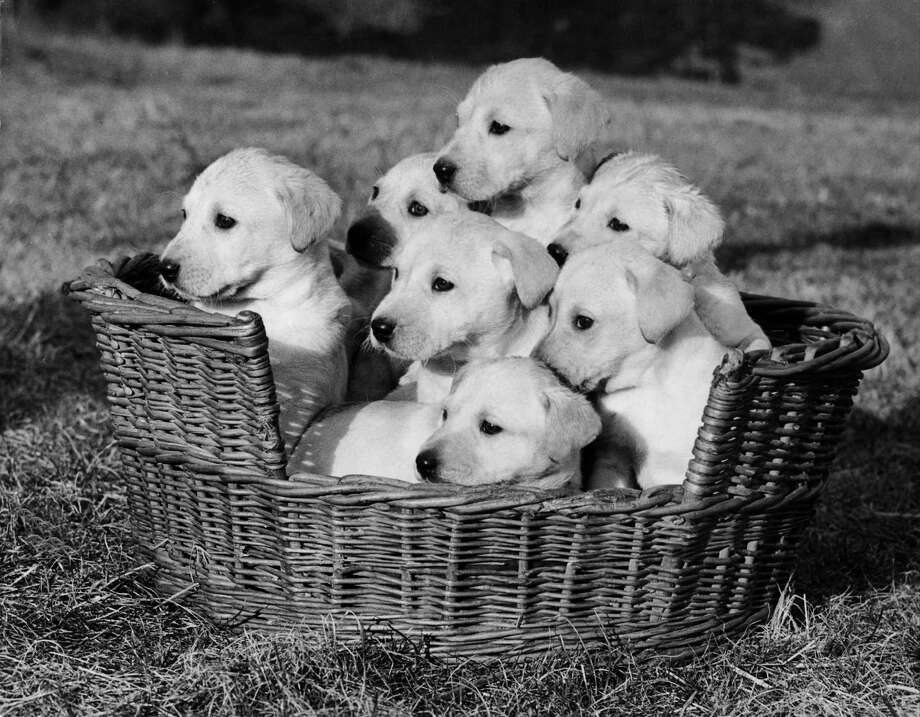 Labrador puppies, 1956. Photo: Keystone-France, Getty Images / 1956 Keystone-France