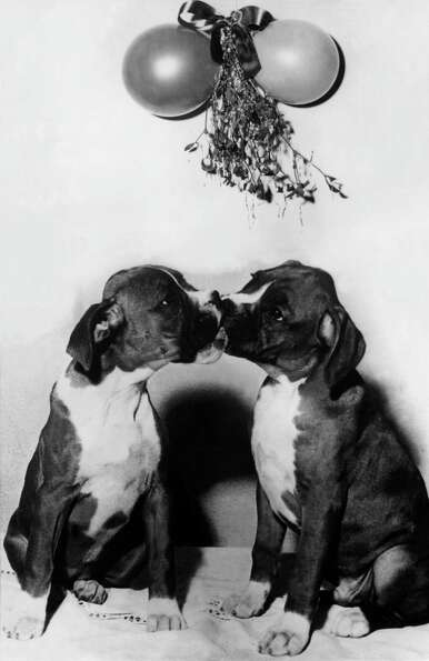 Dogs kissing, 1930.