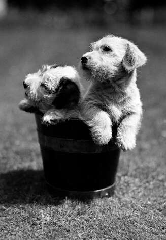 Two cute small puppies sitting in a bucket, 1950. Photo: Paul Popper/Popperfoto, Getty Images / Popperfoto