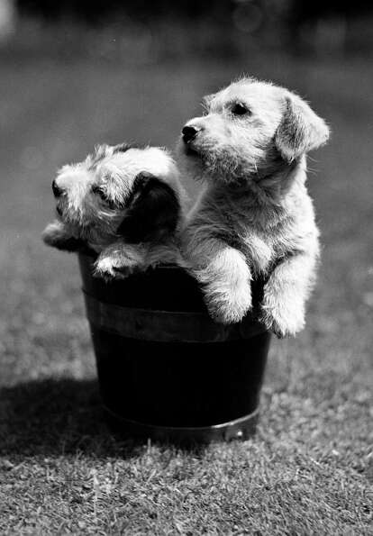 Two cute small puppies sitting in a bucket, 1950.