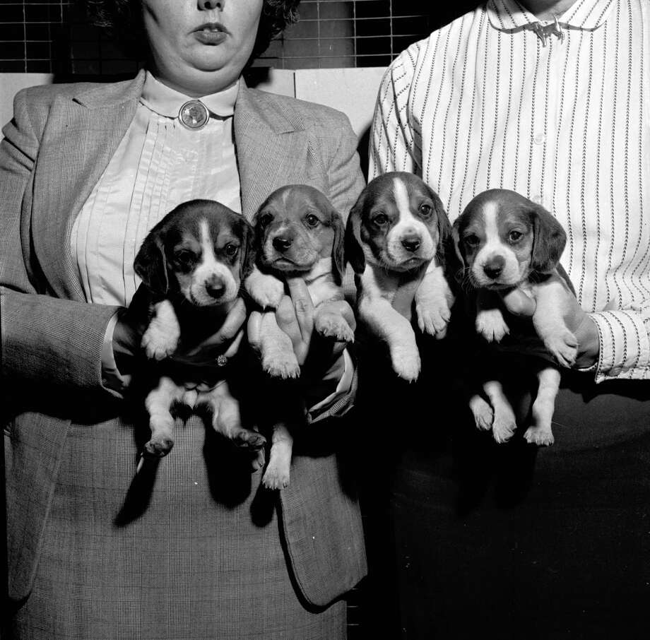 The beagle is a popular breed used as either a house pet or as a hunting dog, 1955. Photo: George Pickow, Getty Images / Hulton Archive