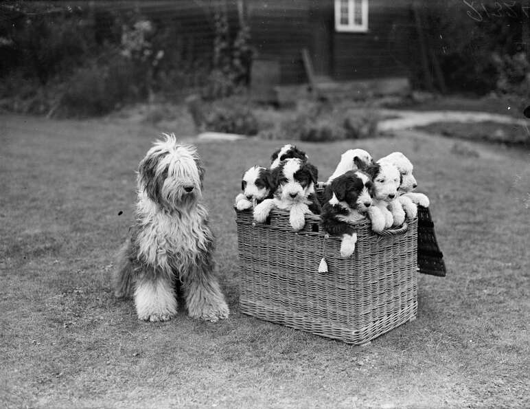 Mrs Tucker's dog keeps an eye on a hamper of puppies in her garden, 1929.