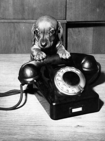 This little puppy dog is smaller than a telephone, 1978. Photo: Hulton Archive, Getty Images / Hulton Archive