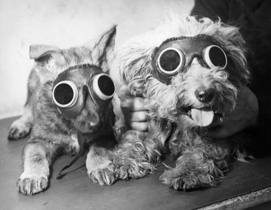 Pups at the Canine Defence League Clinic in Camberwell, London, receive treatment with sun-ray lamps for rickets and a leg injury, 1949. Photo: Harry Todd, Getty Images / Hulton Archive