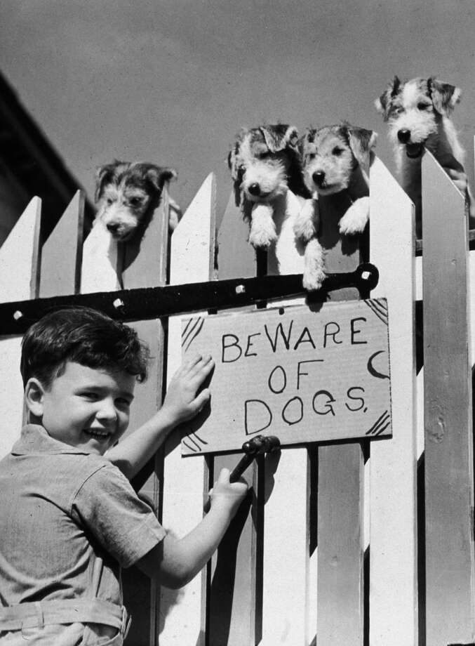 A young boy posts a 'BEWARE OF DOGS' sign on wooden fence, 1945. Photo: Lambert, Getty Images / Archive Photos