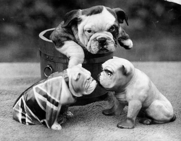 A bulldog puppy contemplates two china bulldogs from the safety of a wooden tub, 1930. Photo: Express, Getty Images / Hulton Archive