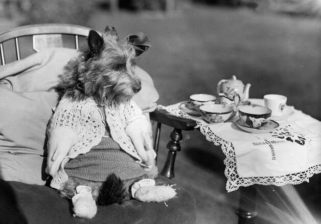 A dog dressed up for a tea party, 1934. Photo: Fox Photos, Getty Images / Hulton Archive