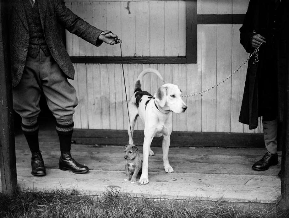 Dogs at the sheepdog trials in Ullswater, Cumbria, 1931. Photo: Fox Photos, Getty Images / Hulton Archive