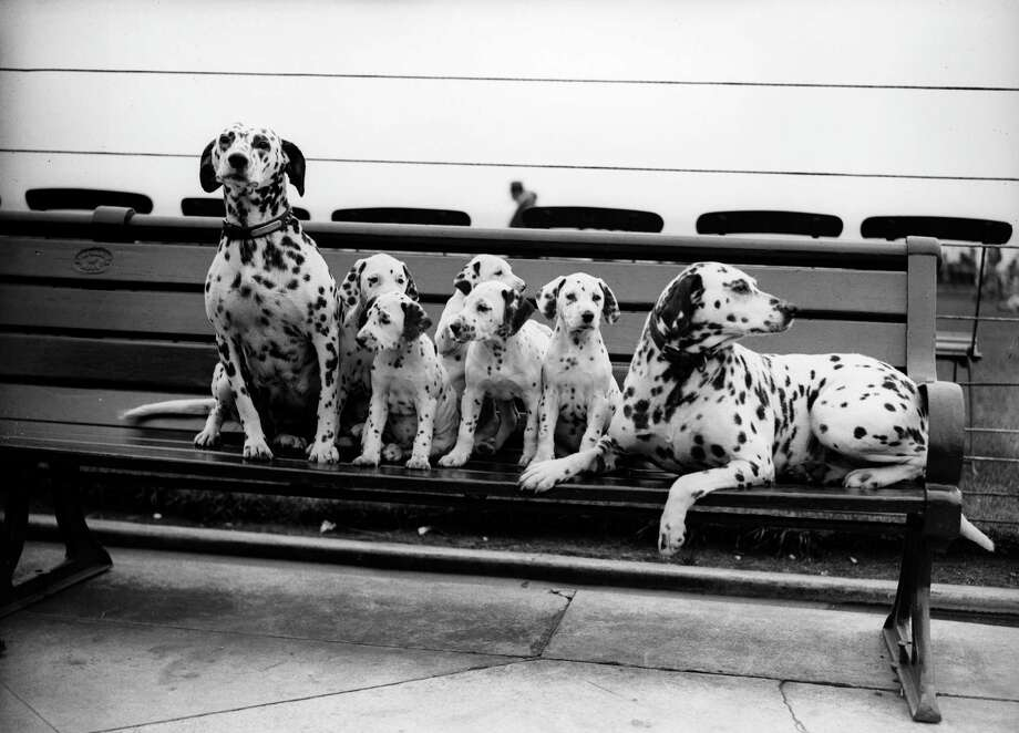 A litter of 5 Dalmatian puppies sit on a park bench, 1931. Photo: Fox Photos, Getty Images / Hulton Archive
