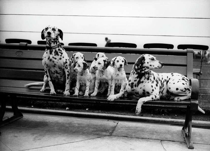 A litter of 5 Dalmatian puppies sit on a park bench, 1931.