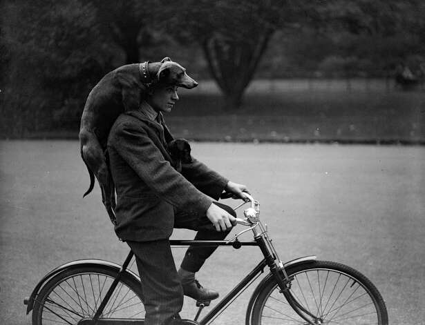 A man cycling through London's Battersea with a greyhound draped over his shoulders and a puppy tucked inside his jacket, 1931. Photo: Fox Photos, Getty Images / Hulton Archive