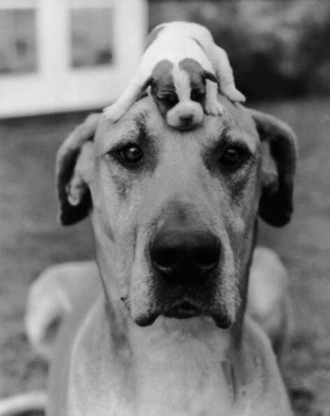 The best way to keep a puppy out of harm's way, circa 1950.