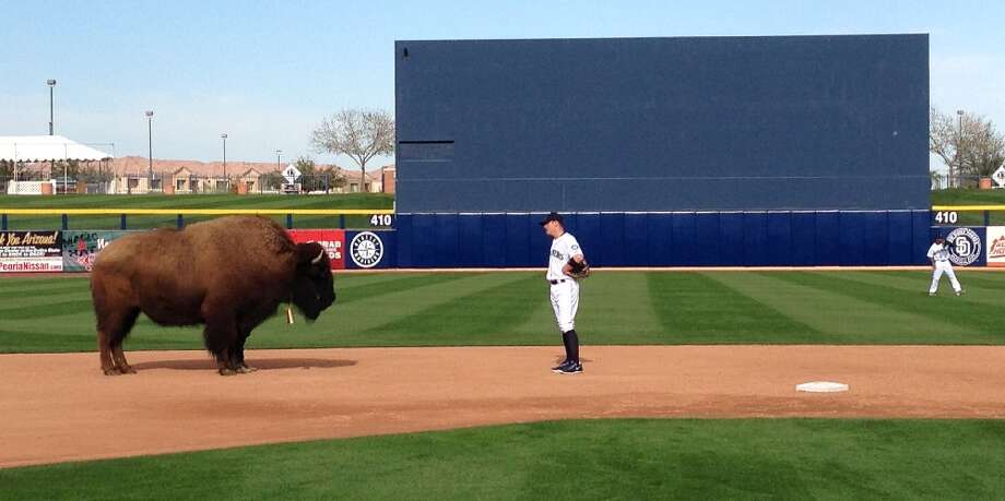 Mariners shortstop Brendan Ryan stands with his costar Harvey, an American bison, on Tuesday at the Peoria Sports Complex in Peoria, Ariz.