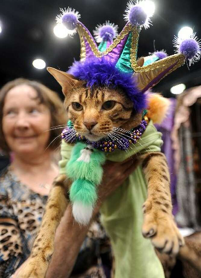 Rascal is posed for a portrait in his Bourbon Street King costume with Sue Riley after winning 3rd place in the costume contest portion of the Acatemy Awards Cat Show. Tammy McKinley/cat5