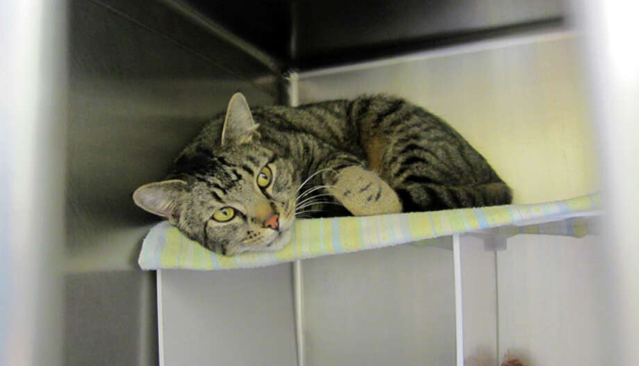 This male cat was found earlier this month as a stray in Seattle. Photo: Casey McNerthney/seattlepi.com