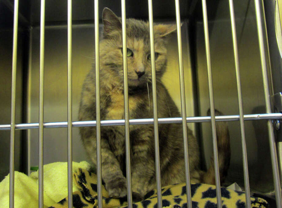 This female cat should be available for adoption after Feb. 24 at the Seattle Animal Shelter. Photo: Casey McNerthney/seattlepi.com