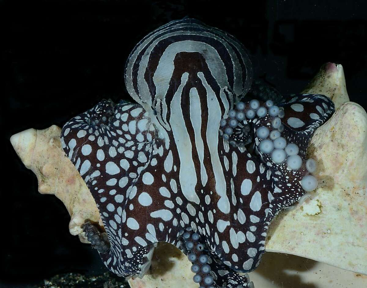 The unique color patters of the Larger Pacific Striped Octopus.