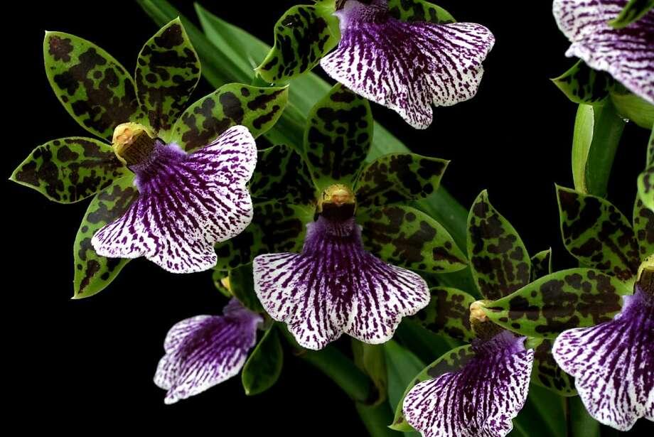 Santa Barbara International Orchid Show and Festival Photo: Cal-Orchid