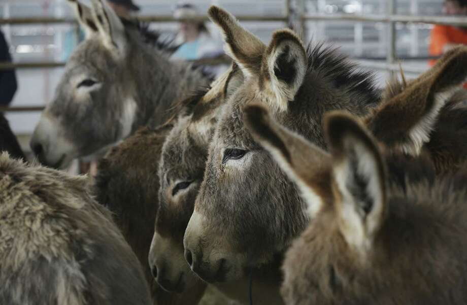Burros stand in a pen waiting to be adopted. They were among about 1,500 wild horses and donkeys captured last year by the Bureau of Land Management on nearly 27 million acres of federal lands where it manages herds. Photo: Photos By Bob Owen / San Antonio Express-News