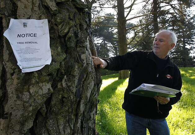 Arborist Larry Costello examines a crack in an aging tree that is marked for removal at Golden Gate Park in San Francisco, Calif. on Thursday, Feb. 14, 2013. Photo: Paul Chinn, The Chronicle