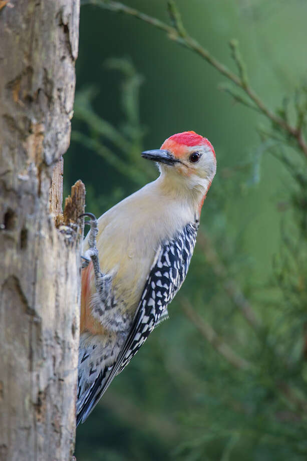 Woodpeckers, like this red-bellied woodpecker of East Texas, are drumming to find a breeding partner for the spring. Photo: Kathy Adams Clark / Kathy Adams Clark/KAC Productions