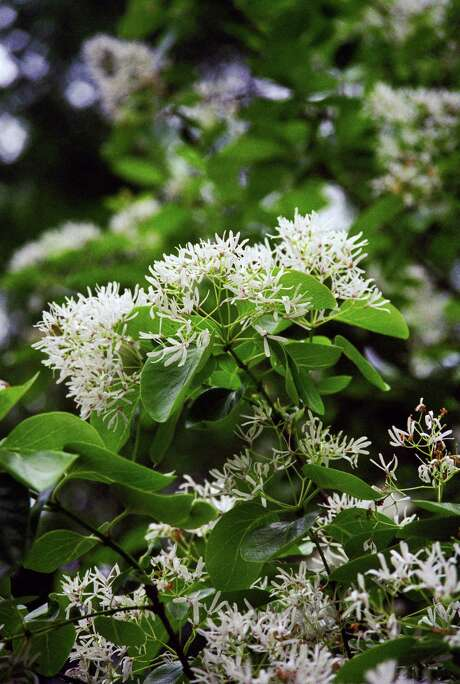 The Chinese fringe tree produces beautiful spring blooms. Photo: John Everett, Staff / Houston Chronicle