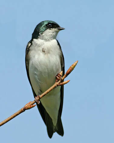 Tree Swallow. Photo: Contributed Photo / Connecticut Post Contributed