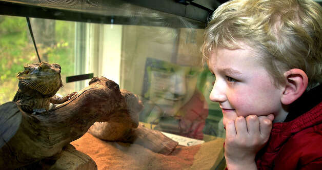 "Jack Morrison of New Milford reflects on ""Priscilla,"" the bearded dragon lizard, in November 2010 during one of the many children's programs offered at the Pratt Nature Center in New Milford. Photo: Trish Haldin"