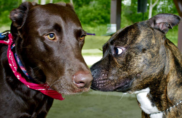 "Max, a 3-year-old chocolate Labrador retriever, and Archie, a 2-year-old pit bull, both former shelter dogs, stage their own ""meet and greet"" before the Animal Welfare Society's 10th annual walk-a-thon in New Milford. They were participating with respective owners Jen Fisher and Frank Smith of New Milford and Stephanie Campbell of New Milford. Photo: Trish Haldin"