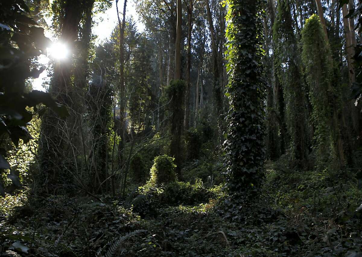 Morning sunlight peeks through a dense eucalyptus grove at the Sutro Forest Open Space Reserve in San Francisco, Calif. on Tuesday, Dec. 18, 2012.