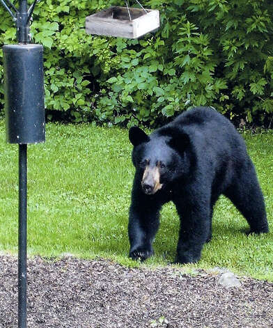 A black bear pays a casual visit to the home of Carol Moretz of Possum Lane in New Milford, June 11, 2010.  Courtesy of the Moretz family Photo: Contributed Photo