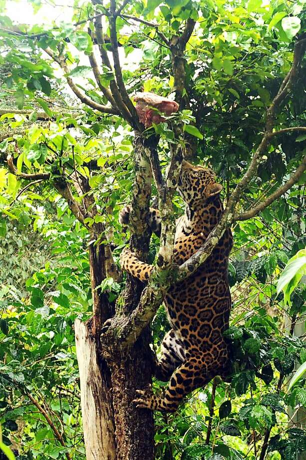 Sure it takes an effort, but raw meat doesn't grow on trees, you know:A jaguar has to work for his dinner by climbing a tree at Petro Velho Farm, a big-cat sanctuary outside Brasilia. Photo: Evaristo Sa, AFP/Getty Images